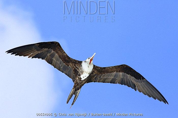 Magnificent Frigatebird (Fregata magnificens) flying, Curacao, Caribbean