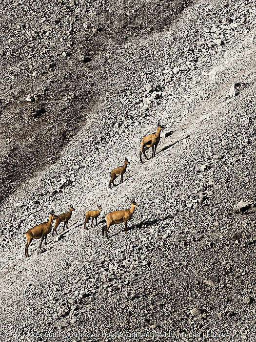Chamois (Rupicapra rupicapra) herd with young on scree, Austria