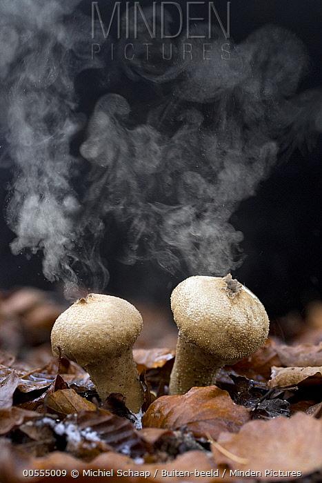 Devil's Snuffbox (Lycoperdon perlatum) releasing spores, Netherlands