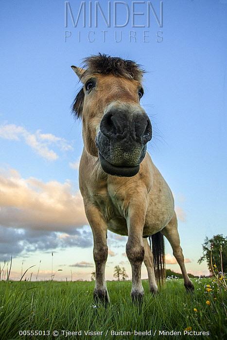 Domestic Horse (Equus caballus), Netherlands