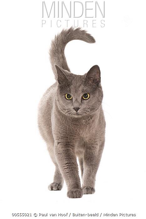 Russian Blue (Felis catus), Netherlands