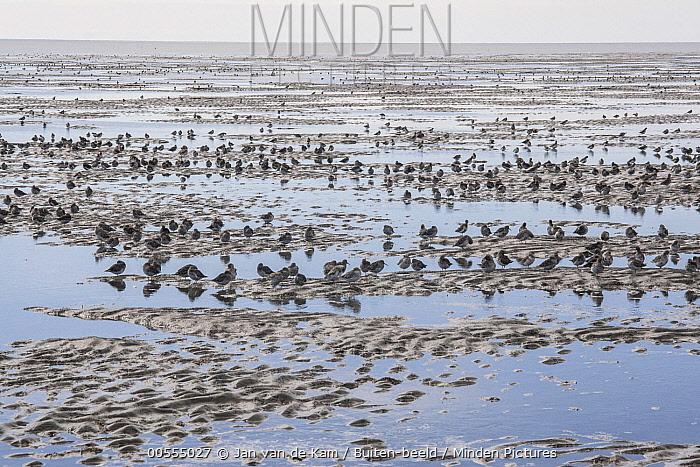 Western Sandpiper (Calidris mauri) flock on mudflat, Yukon Delta National Park, Alaska