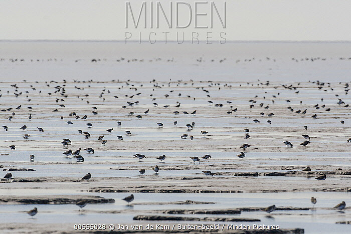 Dunlin (Calidris alpina) flock foraging at low tide, Yukon Delta National Wildlife Refuge, Alaska