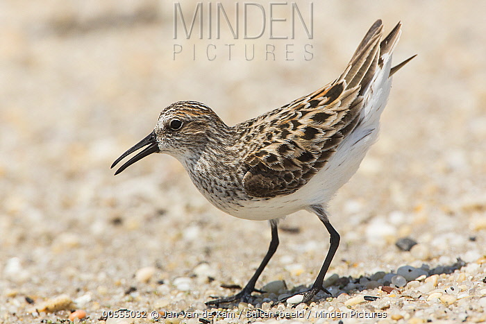 Semipalmated Sandpiper (Calidris pusilla) displaying, Delaware Bay, New Jersey