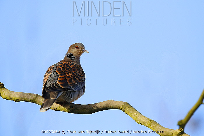 Oriental Turtle Dove (Streptopelia orientalis), Netherlands