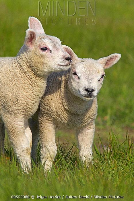 Domestic Sheep (Ovis aries) lambs, Netherlands