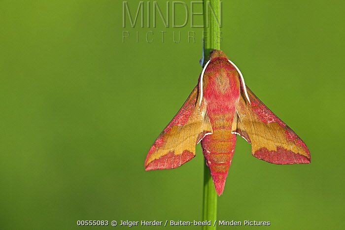 Small Elephant Hawk Moth (Deilephila porcellus), France