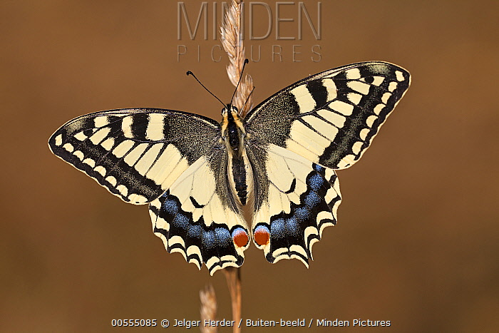 Oldworld Swallowtail (Papilio machaon), France