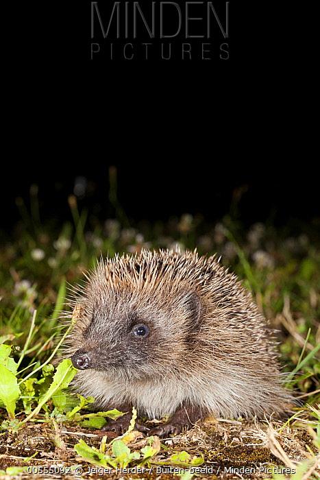 Brown-breasted Hedgehog (Erinaceus europaeus) in yard at night, France