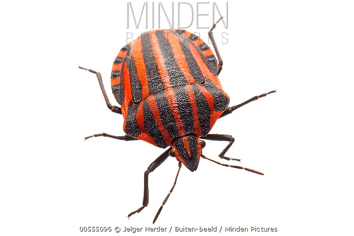 Red and Black Striped Stink Bug (Graphosoma lineatum), France