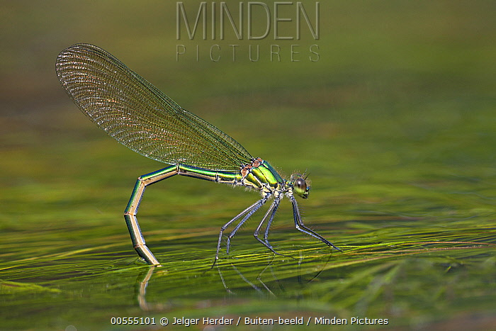 Banded Demoiselle (Calopteryx splendens) female laying eggs, France
