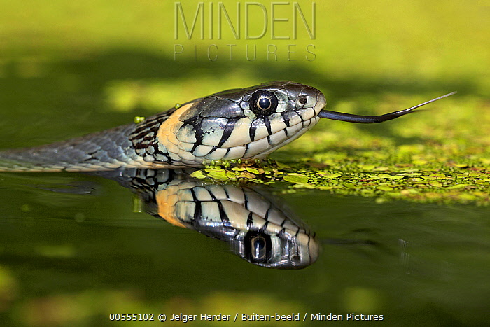 Grass Snake (Natrix natrix) in water, Poland