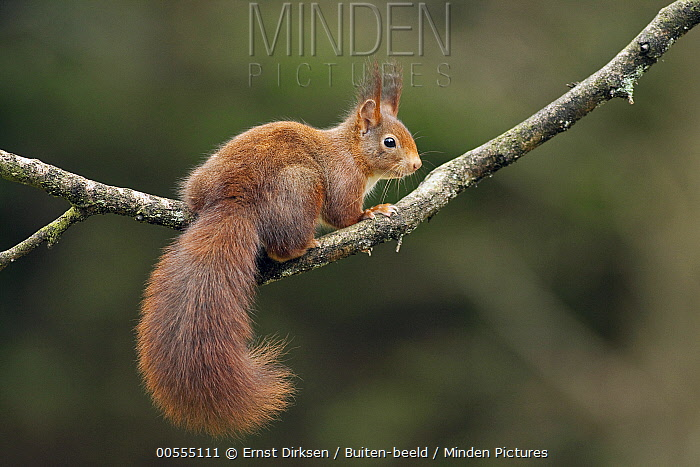 Eurasian Red Squirrel (Sciurus vulgaris), Netherlands