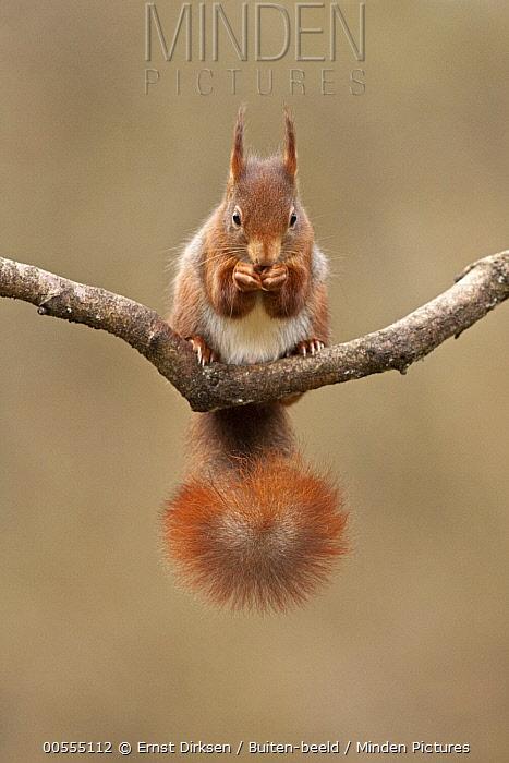 Eurasian Red Squirrel (Sciurus vulgaris) feeding, Netherlands