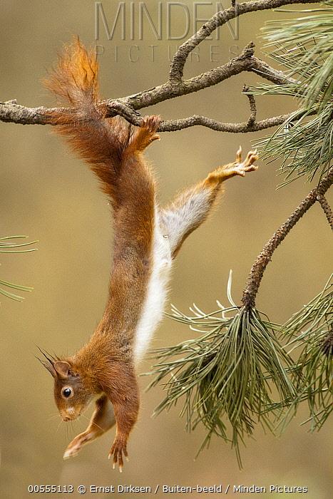 Eurasian Red Squirrel (Sciurus vulgaris) hanging, Netherlands