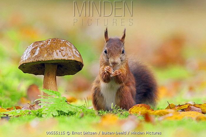 Eurasian Red Squirrel (Sciurus vulgaris) and King Bolete (Boletus edulis) mushroom, Netherlands