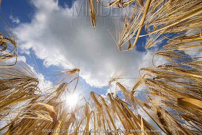 Two-rowed Barley (Hordeum vulgare), Netherlands