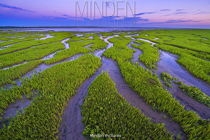 Tidal channels and salt marsh, Slikken van Voorne Nature Reserve, Rhone Estuary, Netherlands