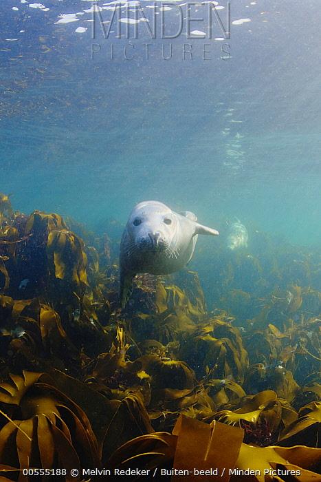 Grey Seal (Halichoerus grypus), North Sea, Scotland