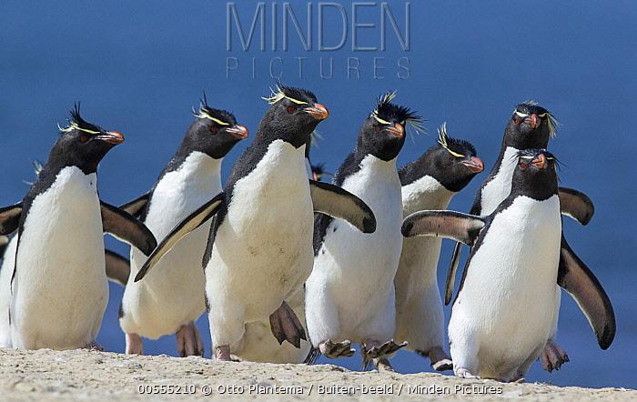 Rockhopper Penguin (Eudyptes chrysocome) group, Falkland Islands