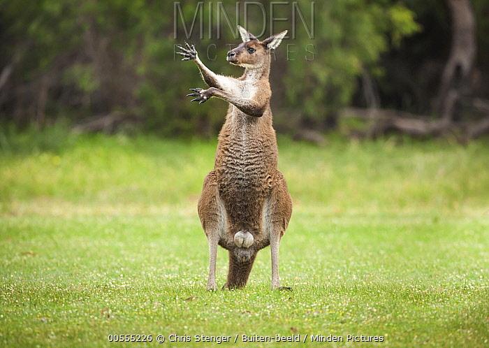 Western Grey Kangaroo (Macropus fuliginosus) male displaying, Yanchep National Park, Western, Australia