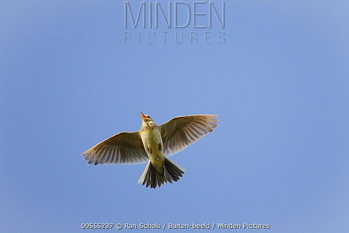 Eurasian Skylark (Alauda arvensis) flying, Netherlands
