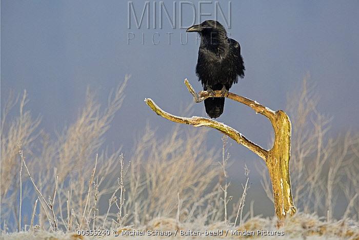 Common Raven (Corvus corax) in winter, Germany