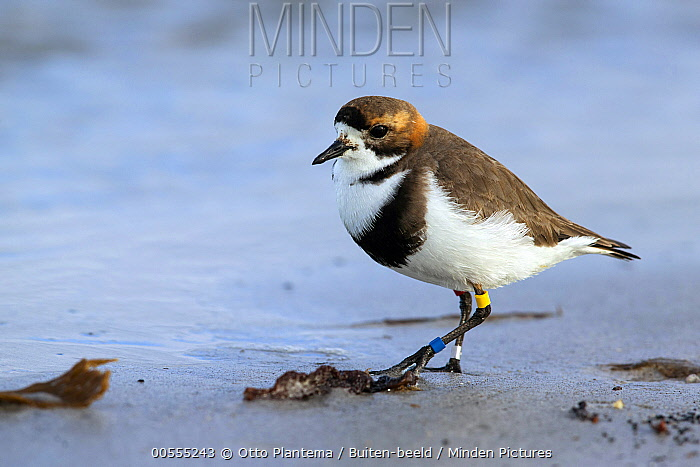 Two-banded Plover (Charadrius falklandicus), Falkland Islands