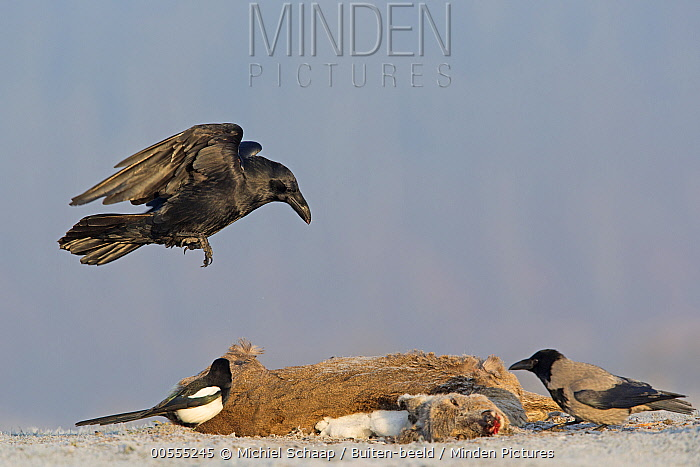 Common Raven (Corvus corax), Hooded Crow (Corvus cornix), and European Magpie (Pica pica) feeding on Western Roe Deer (Capreolus capreolus) carcass in winter, Germany