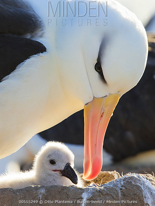 Black-browed Albatross (Thalassarche melanophrys) parent tending chick at nest, United Kingdom