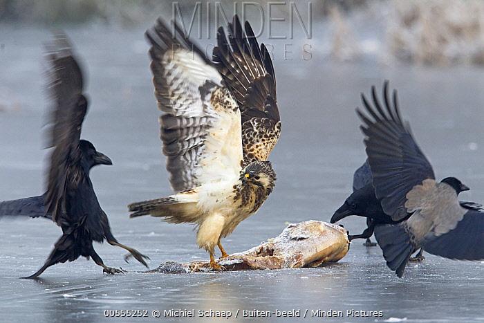 Common Buzzard (Buteo buteo), Common Raven (Corvus corax), and Hooded Crow (Corvus cornix) fighting over carcass on ice, Germany