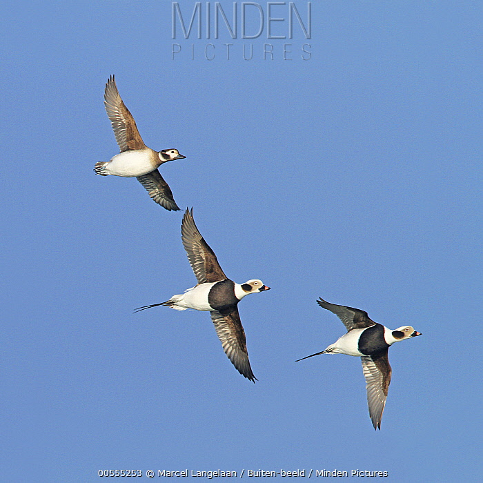 Long-tailed Duck (Clangula hyemalis) femail and two males flying, Netherlands