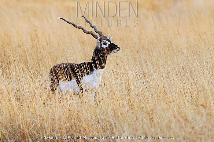 Blackbuck (Antilope cervicapra) male, Velavadar National Park, India