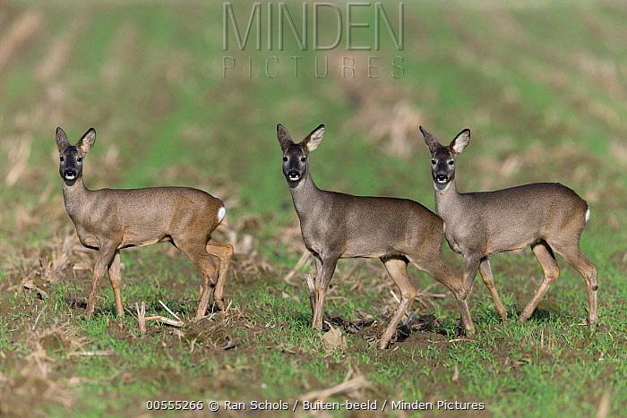 Western Roe Deer (Capreolus capreolus) trio, Netherlands