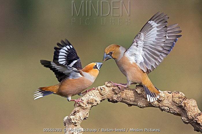 Hawfinch (Coccothraustes coccothraustes) pair fighting, Netherlands