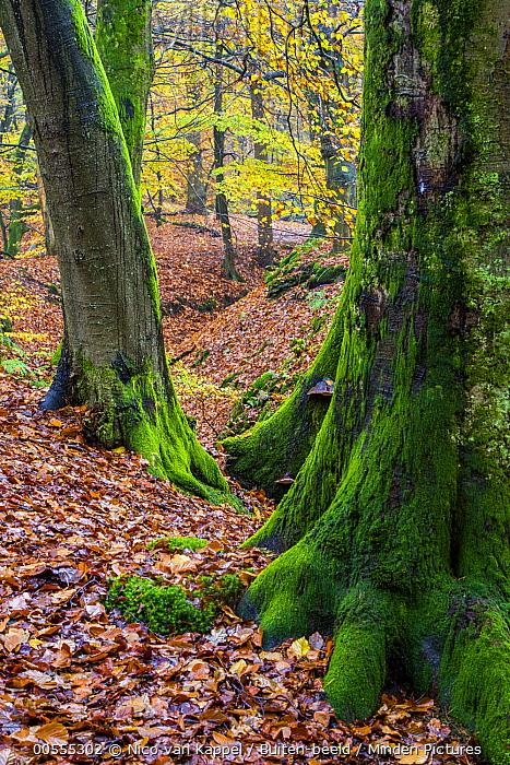 European Beech (Fagus sylvatica) forest in autumn, Netherlands