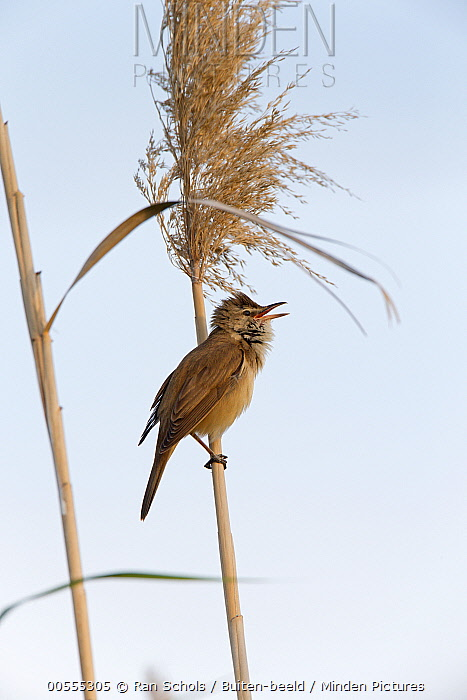 Great Reed-Warbler (Acrocephalus arundinaceus) calling, Spain