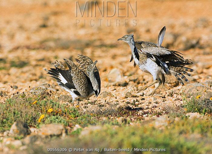 Houbara Bustard (Chlamydotis undulata) males fighting, Spain