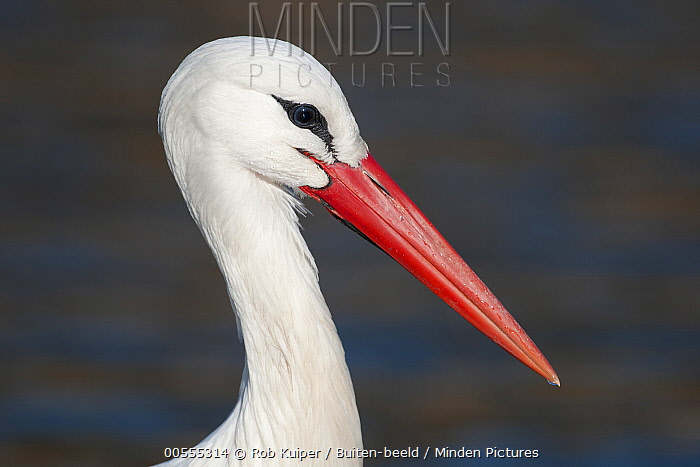 White Stork (Ciconia ciconia), Netherlands