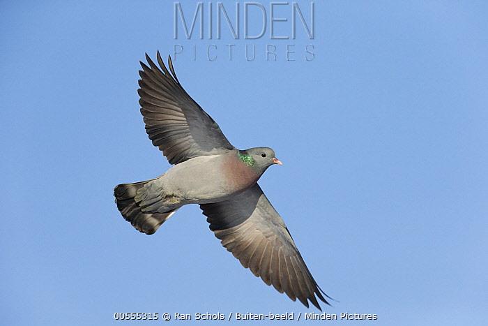 Stock Dove (Columba oenas) flying, Netherlands