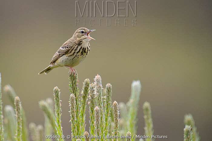 Tree Pipit (Anthus trivialis) calling, Netherlands