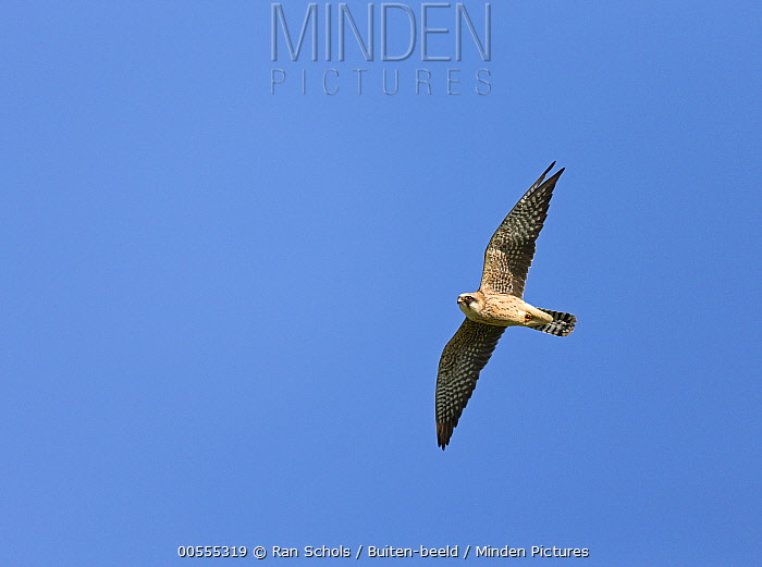 Red-footed Falcon (Falco vespertinus) female flying, Spain