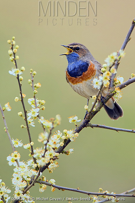 Bluethroat (Luscinia svecica) calling, Netherlands