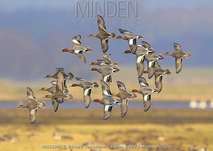 Eurasian Wigeon (Anas penelope) flock flying, Netherlands