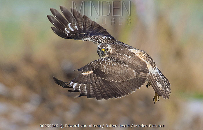 Common Buzzard (Buteo buteo) flying, Netherlands