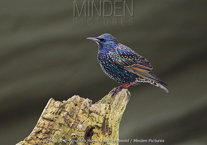 Common Starling (Sturnus vulgaris), Netherlands