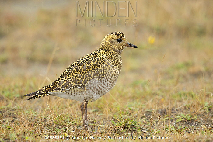Golden Plover (Pluvialis apricaria) sub-adult, Netherlands