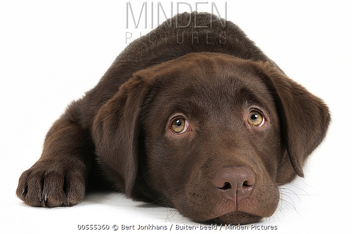 Labrador Retriever (Canis familiaris) puppy, Netherlands