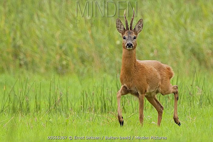 Western Roe Deer (Capreolus capreolus) buck, Netherlands