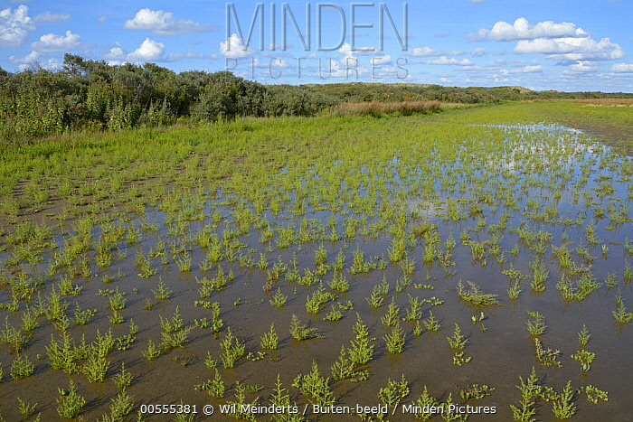 Common Glasswort (Salicornia europaea) in marsh, De Kwade Hoek, Netherlands